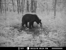 Bear stoping at the deer mineral pile for a lick
