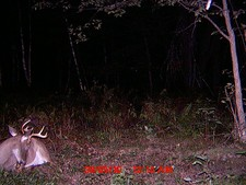 Buck laying by the mineral pile with his velvet hanging off